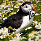 puffin by gashwen