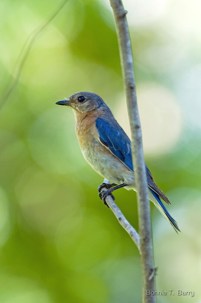Bluebird Portrait by Bonnie T.  Barry