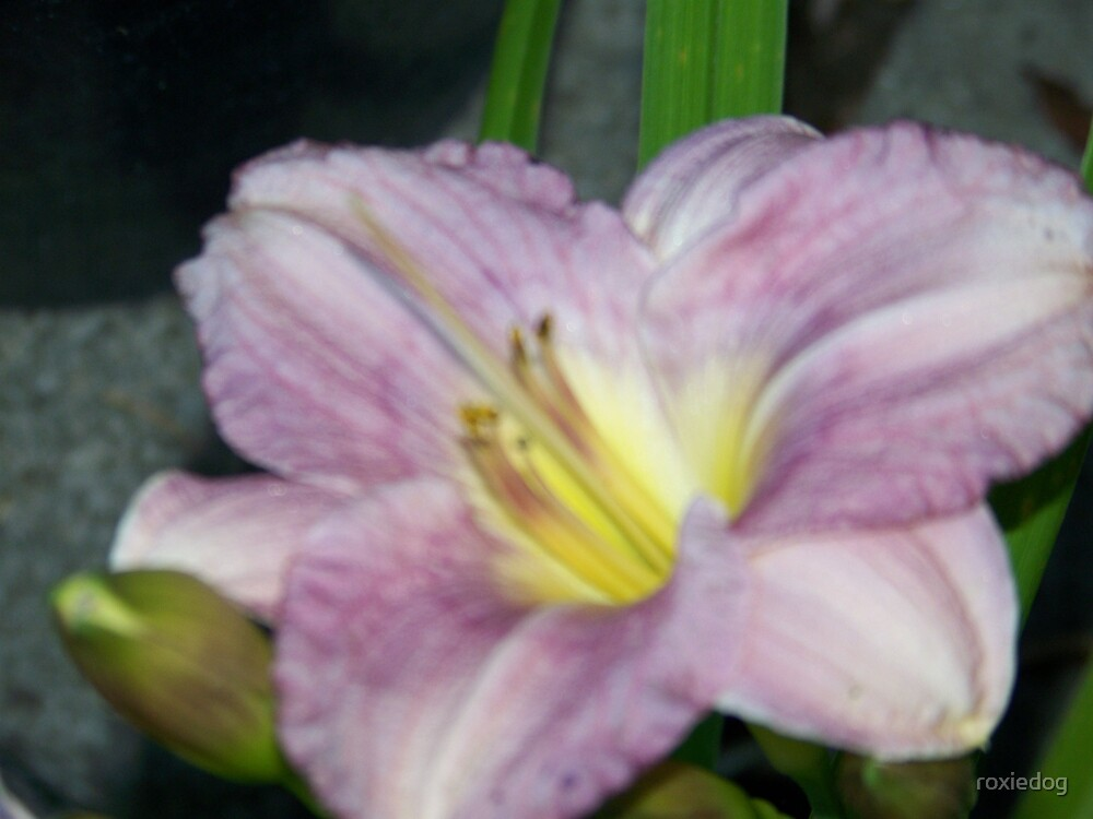 Lavender Day lily by roxiedog