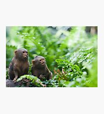 Pair of pygmy monkeys Photographic Print