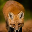Red Fox 2 by Michael Cummings