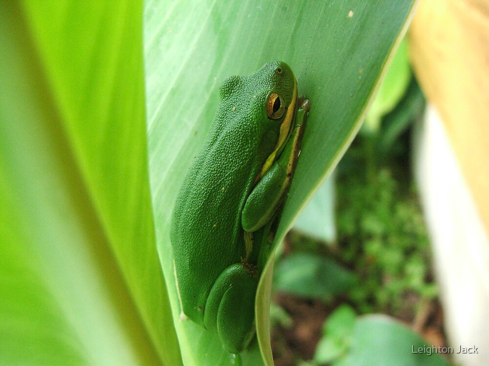 The Frog In the Cannas by Leighton Jack