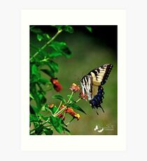 Giant Yellow Swallowtail Art Print