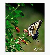 Giant Yellow Swallowtail Photographic Print