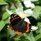 Red Admiral by mousesuzy