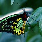 Cairns Birdwing by doublehelix
