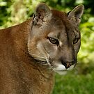 Puma by Ann Heffron