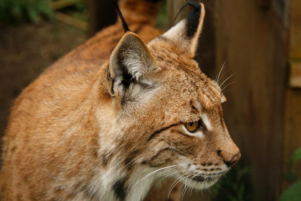 Lynx by Ann Heffron