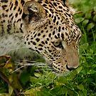 Persian leopard by Ann Heffron
