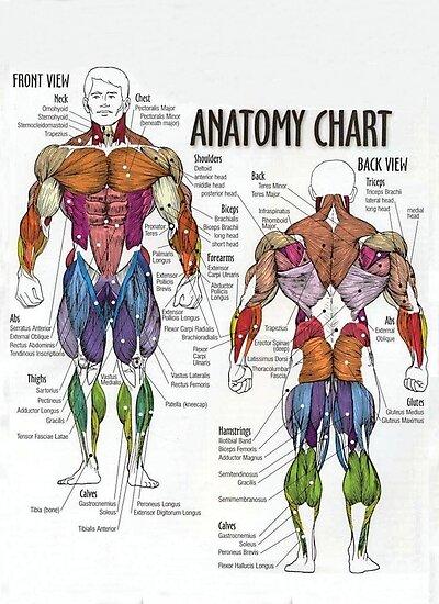 'Gráfico muscular - Diagrama de la anatomía para la aptitud' Lámina fotográfica by myfitspiration