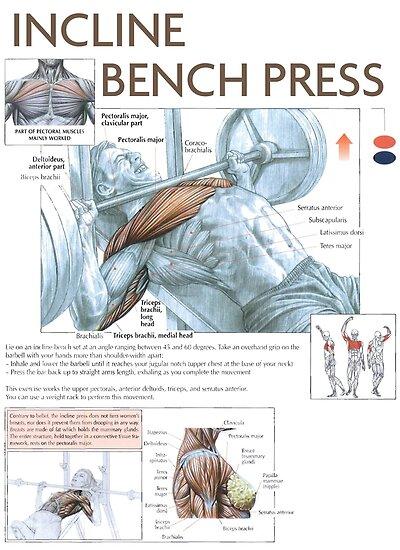 Pósters «Prensa de banco inclinada - Diagrama del músculo del ...