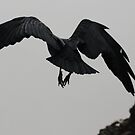 Flying Mountain Raven by Robin Hayward