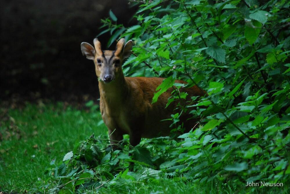 Male Muntjac deer 1 by John Newson