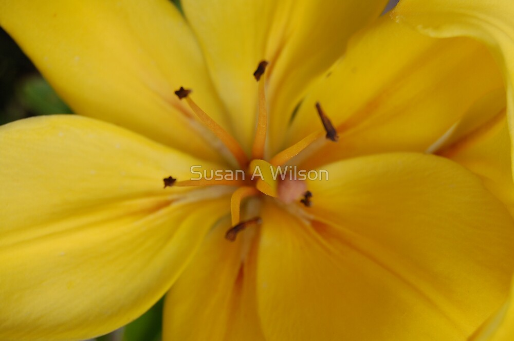 Yellow Lily 01 by Susan A Wilson