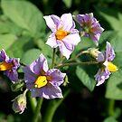 Potato Blossoms by Stephen Thomas
