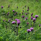 scottish thistle by dougie1