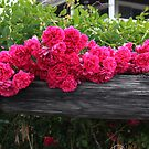 Undecided Roses by Judi FitzPatrick