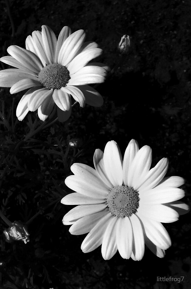 Two Daisies by littlefrog7