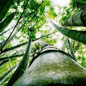 Bamboo by panoramica