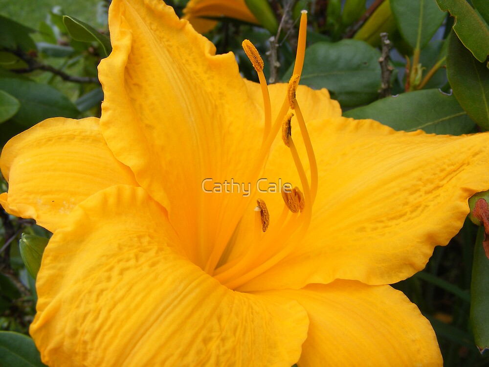 YELLOW BEAUTY 2  (LILLY) by Cathy Cale