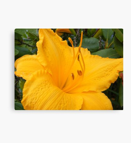 YELLOW BEAUTY 2  (LILLY) Canvas Print