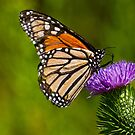 Monarch Butterfly on a Thistle by Jeff Goulden