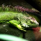 green iguana by doublehelix