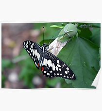 Beautiful butterfly with black and white wings on leaves  Poster