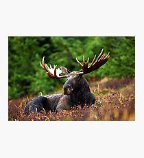 Relax Moose Photographic Print