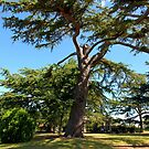 Cedar Tree by John Dalkin