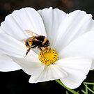 Bumble Bee & White Cosmos by AnnDixon