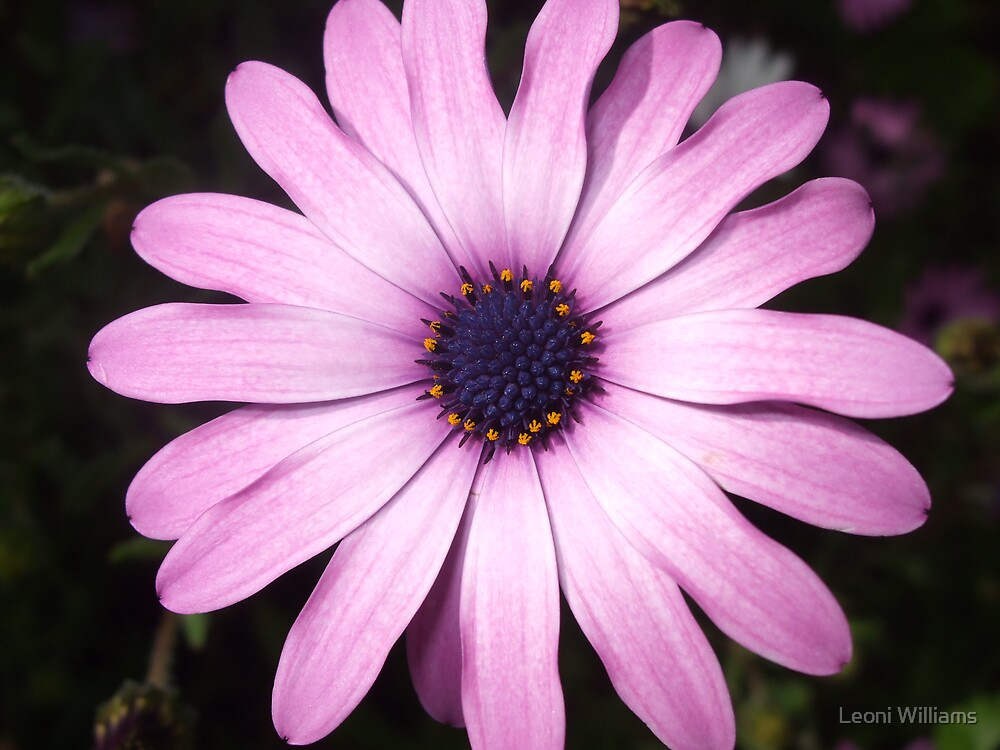 Pink Daisy by Leoni Williams
