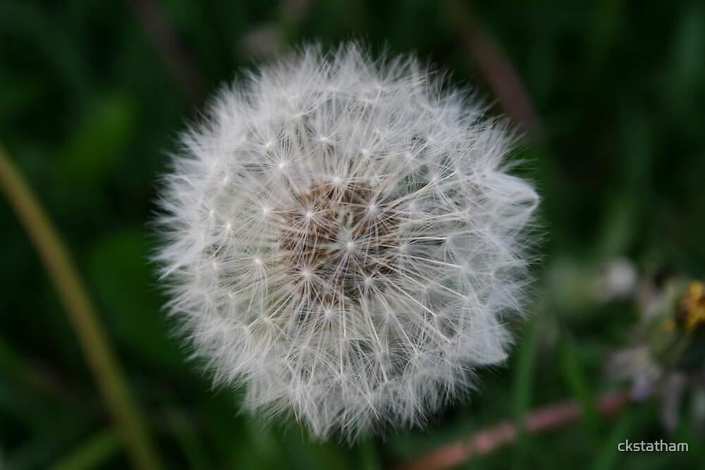 dandelion by ckstatham