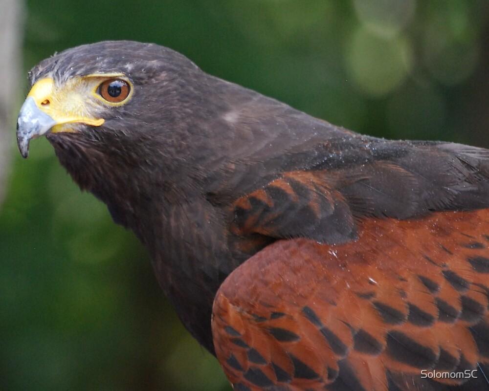 Hawk by SolomomSC