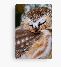 Northern Saw Whet Owl - Ottawa, Canada Canvas Print