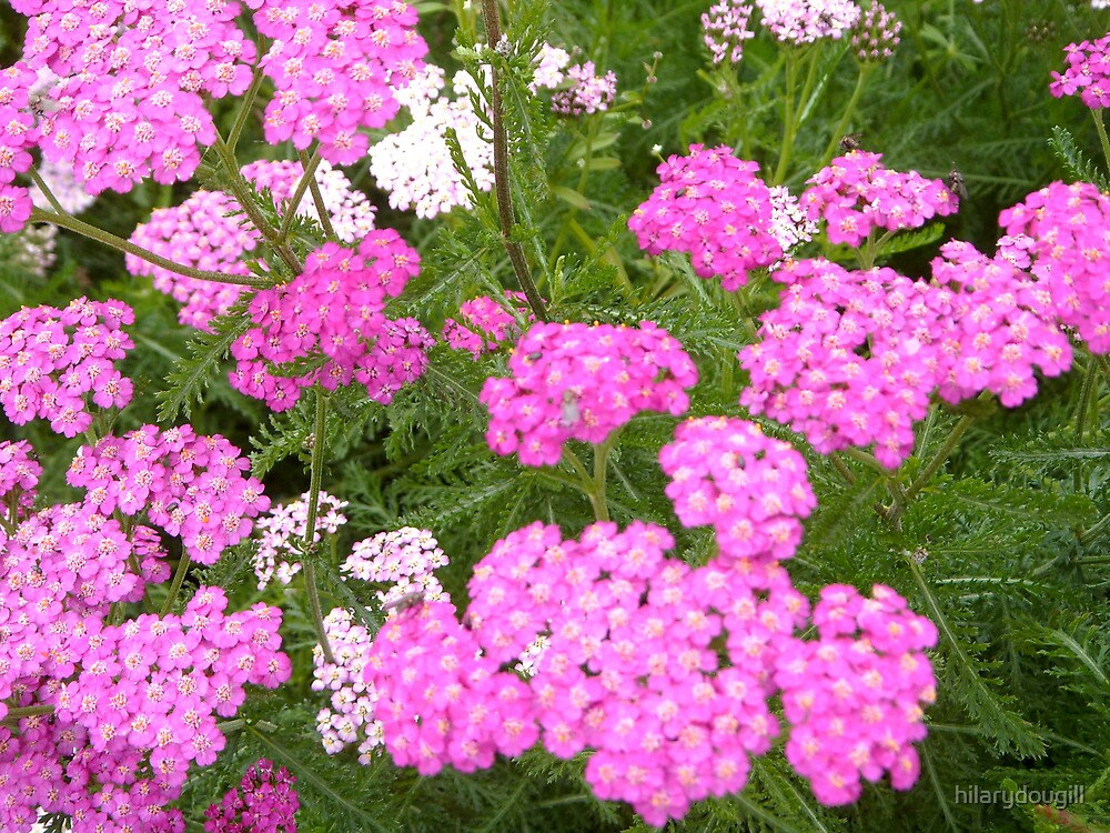 Pink Yarrow by hilarydougill