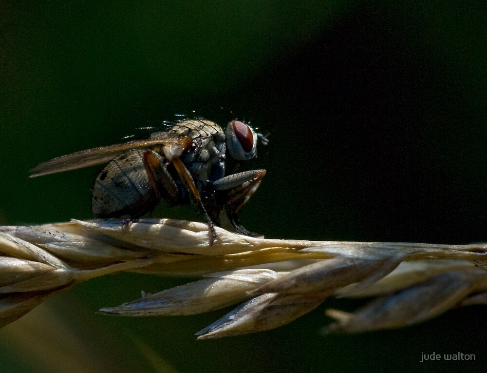 grass fly by jude walton