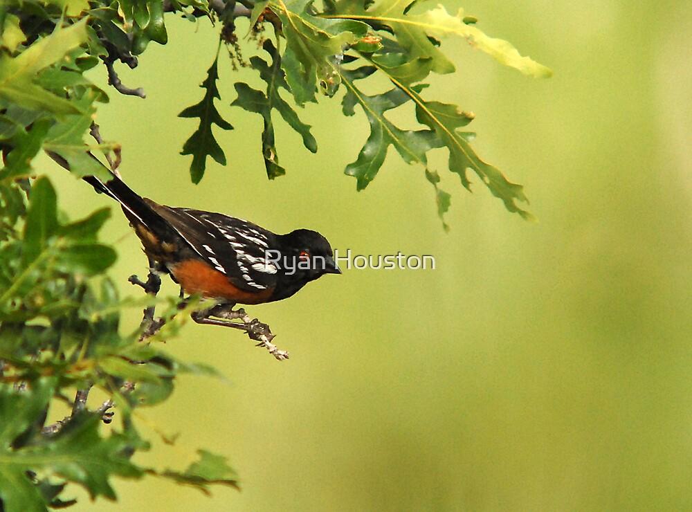 Spotted Towhee - Oak Tree Perch by Ryan Houston
