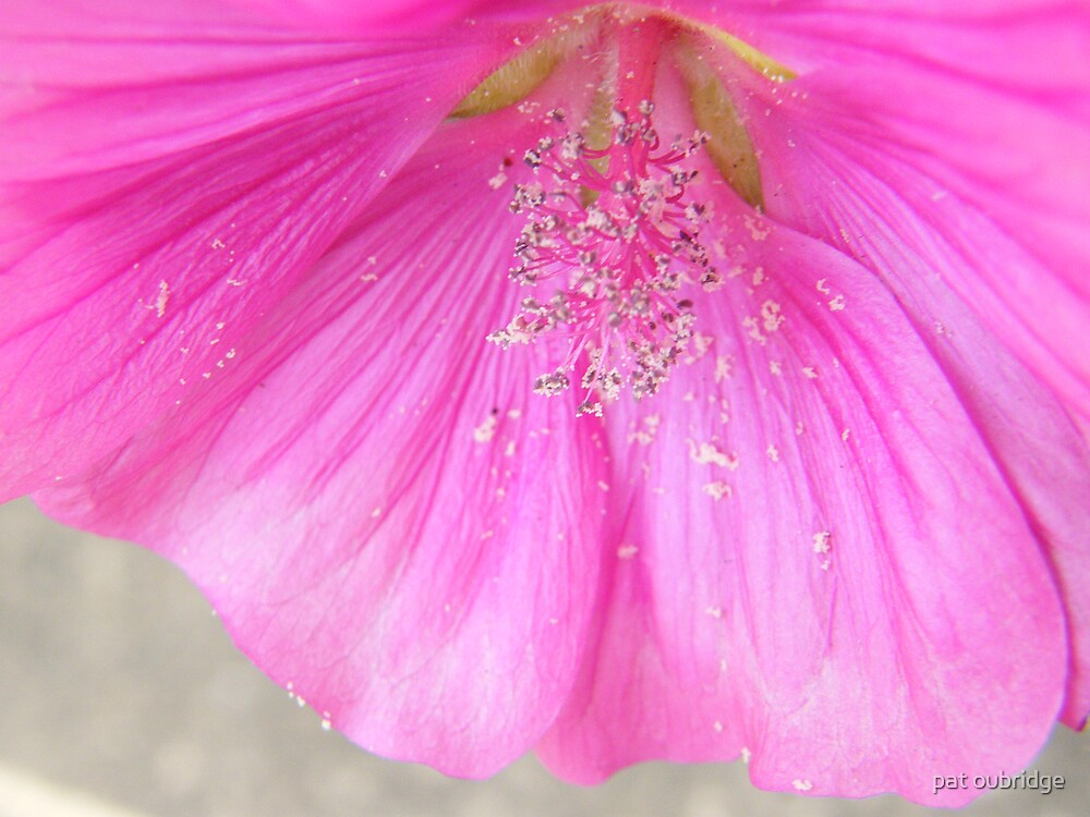 Lavatera Macro by pat oubridge