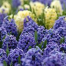 The Beauty of Hyacinths by Mirka Rueda Rodriguez