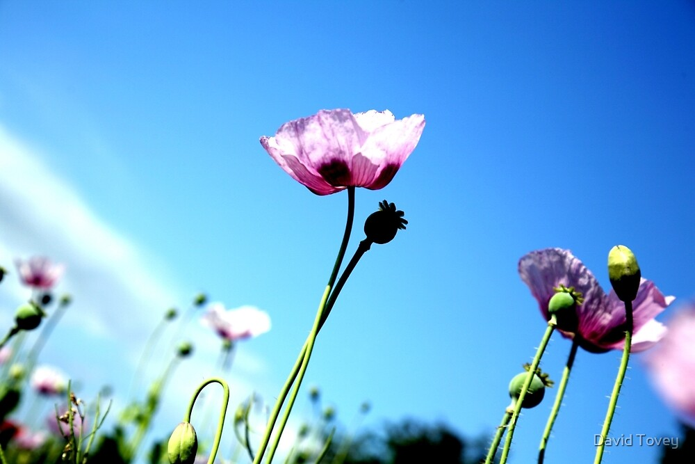 poppies and blue sky by David Tovey