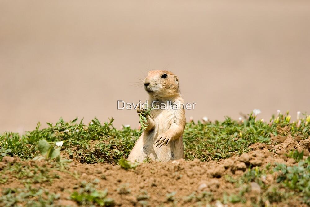 Prairie Dogs by David Gallaher