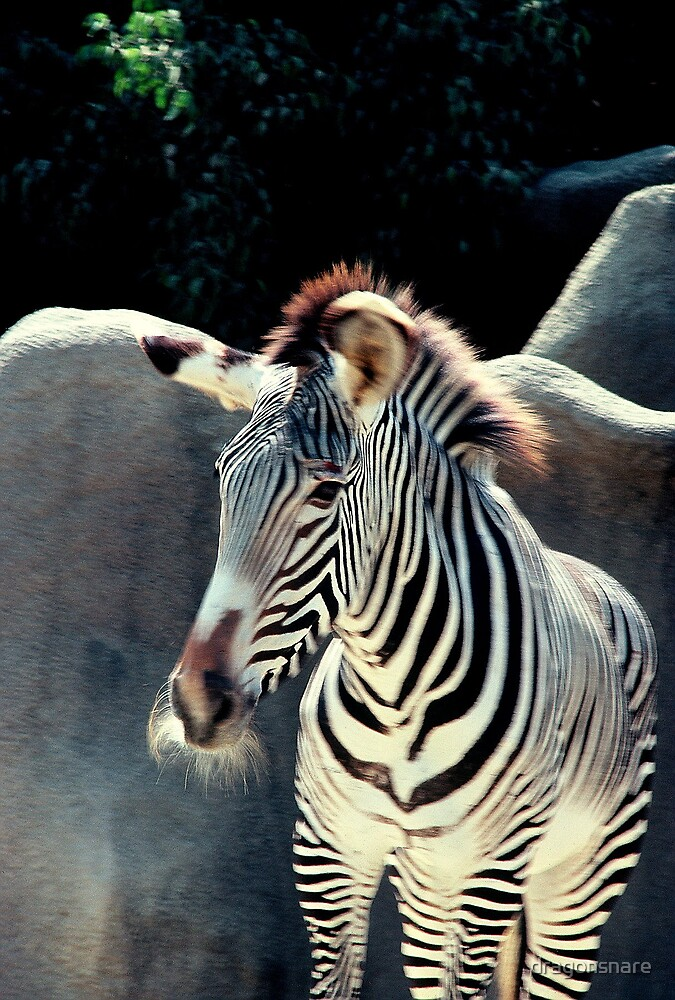 Albino Zebra, really a Grevy's zebra by dragonsnare