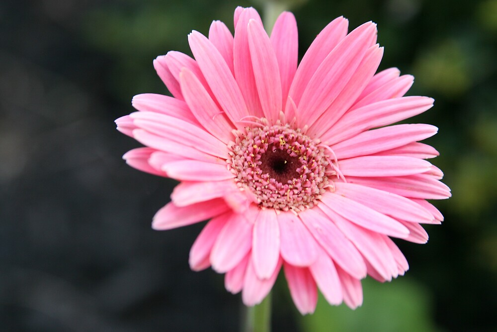 Pink Gerbrera Daisy by photographylove