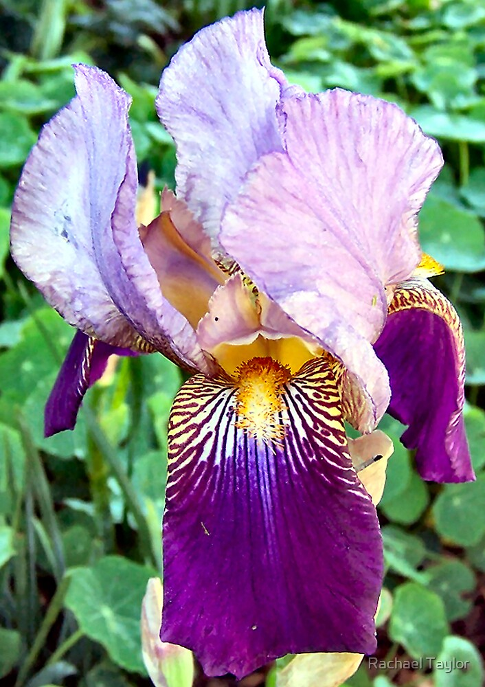 Winter Iris by Rachael Taylor