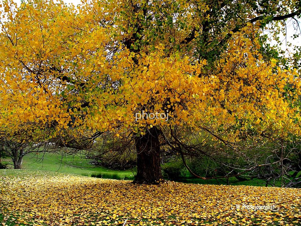 photoj Tassie Autumn Tree by photoj