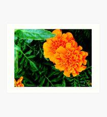 Marigolds.... Art Print
