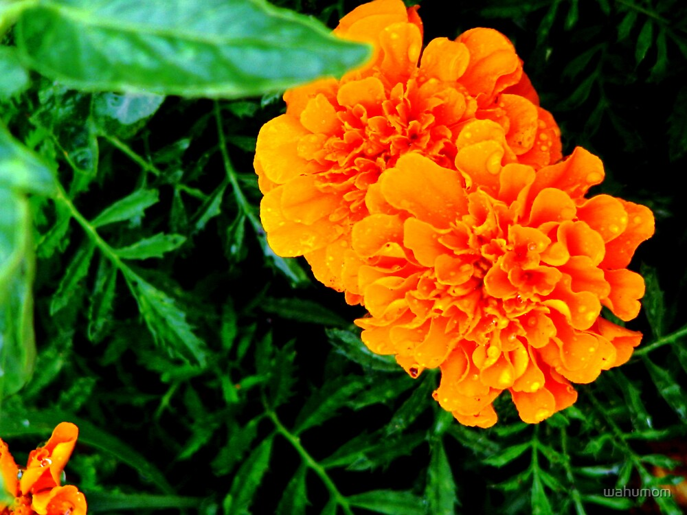 Marigolds.... by wahumom