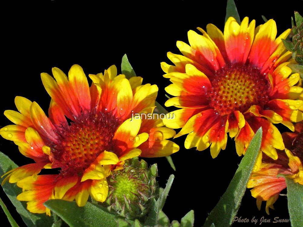 Blanket Flower © by jansnow