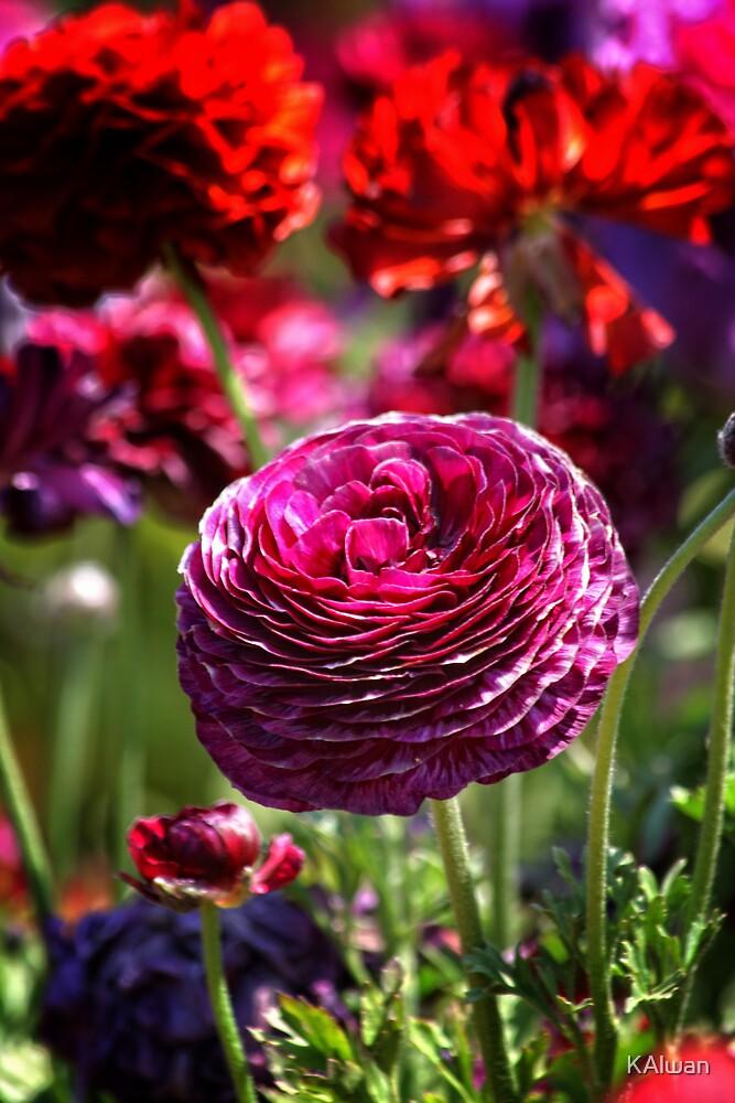 Ranunculus Flower Field by KAlwan